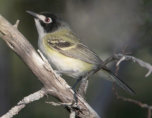 black-capped-vireo