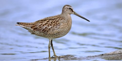dowitcher in boreal forest