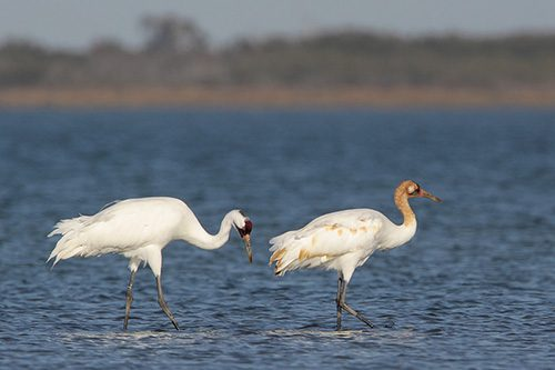 Adult and juvenile Whooping Crane.