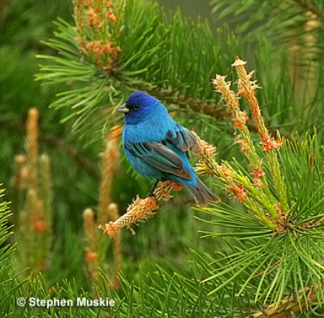 Indigo Bunting images and video