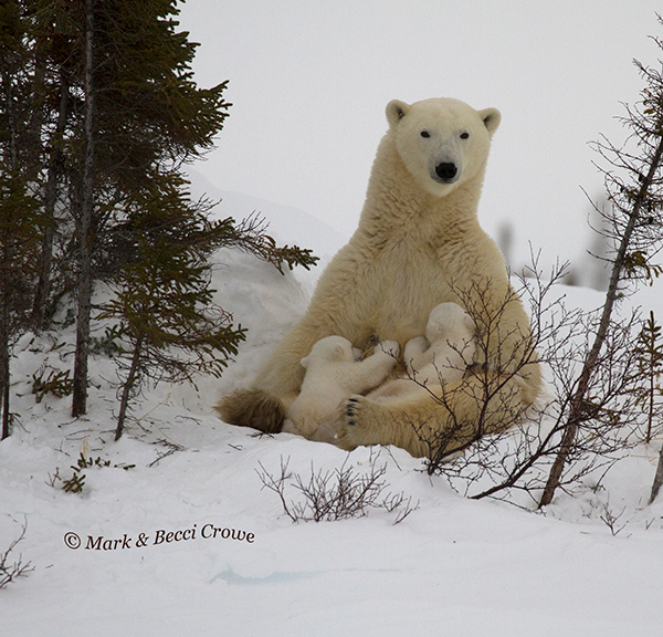 Nursing Polar Bear mum