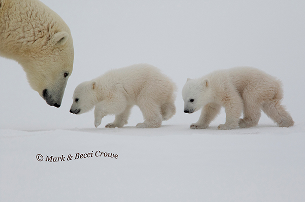 Polar Bear Mum walking cubs