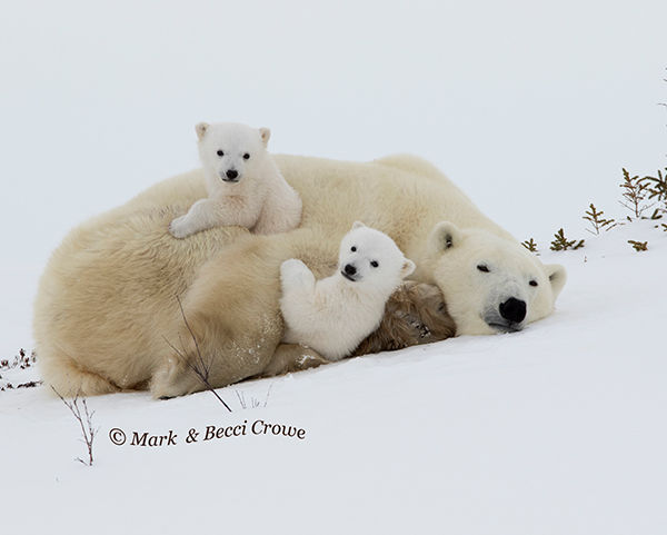 Polar Bear cubs Mum