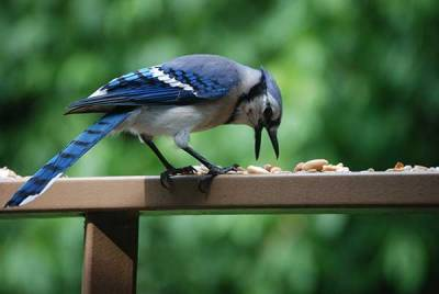 b2ap3_thumbnail_BLUE-JAY-ON-RAILING2.jpg