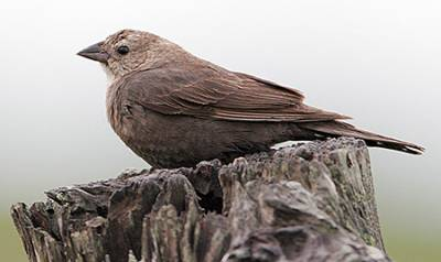 b2ap3_thumbnail_Brown-headed-Cowbird-f-gl.jpg