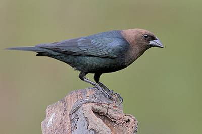 b2ap3_thumbnail_Brown-headed-Cowbird-gl.jpg