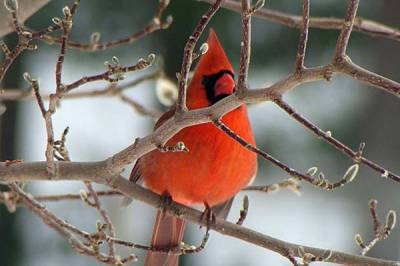 b2ap3_thumbnail_Cardinal-male-on-branch-Moose-Lewis.jpg