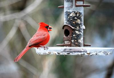 b2ap3_thumbnail_Cardinal-male-on-feeder-Anne-West.jpg