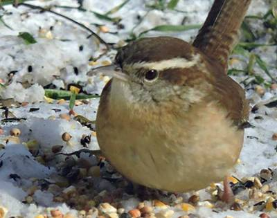 b2ap3_thumbnail_Carolina-wren-ground-seeds-ice-Keith-Kraut.jpg