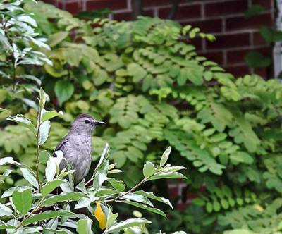 b2ap3_thumbnail_Catbird-bush-Dighton-MA-by-Jacob-Baker.jpg