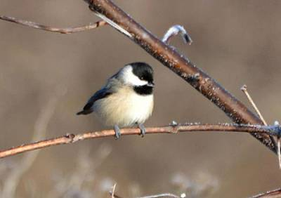 b2ap3_thumbnail_Chickadee-on-branch.jpg