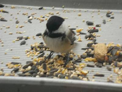 b2ap3_thumbnail_Chickadee-tray-feeder.jpg