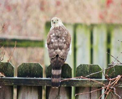 b2ap3_thumbnail_Coopers-Hawk-backside.jpg