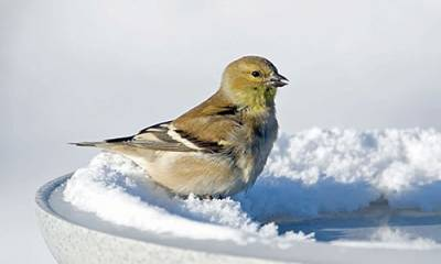 b2ap3_thumbnail_Goldfinch-IcyBath_20141121-205116_1.jpg