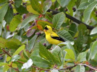 b2ap3_thumbnail_Goldfinch-Mike-Horn-near-Columbus-OH.jpg