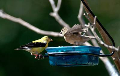 b2ap3_thumbnail_Goldfinch-male-fledgling-wants-food-Janet-Furlong-Culpeper-VA.jpg