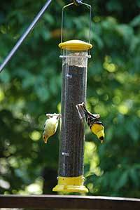 b2ap3_thumbnail_Goldfinch-pair.jpg