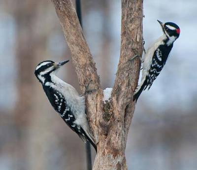 b2ap3_thumbnail_Hairy-and-Downy-Woodpeckers.jpg