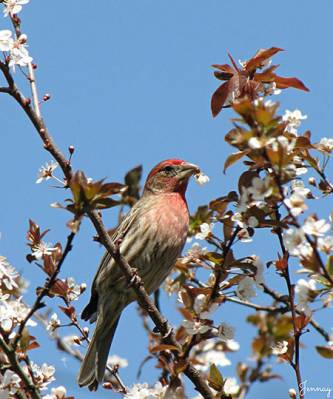 b2ap3_thumbnail_House-Finch-cherry-blossoms-Jennifer-Rector-Winston-Salem-NC-041713.jpg