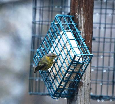 b2ap3_thumbnail_Magnolia-Warbler-on-Feeder.jpg