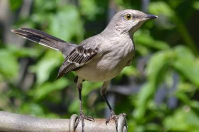 b2ap3_thumbnail_Mockingbird-checking-out-KT-Wright-Chattanooga-TN.jpg