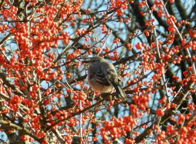b2ap3_thumbnail_Mockingbird-protecting-berries-Renea-Bowman-Arlington-TX.jpg
