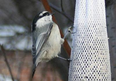 b2ap3_thumbnail_Mountain-Chickadee-sock-feeder-Wendy-Rae.jpg