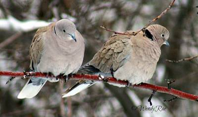 b2ap3_thumbnail_Mourning-Dove-pair-Wendy-Rae.jpg