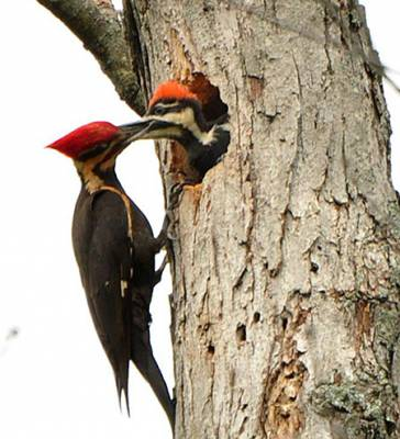 b2ap3_thumbnail_Pileated-Woodpecker.jpg