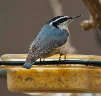 b2ap3_thumbnail_Red-breasted-Nuthatch-mealworms-Janet-Furlong-Culpeper.jpg