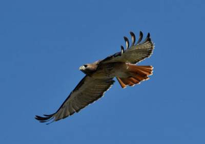 b2ap3_thumbnail_Red-tailed-Hawk-Mike-Horn-Columbus-OH.jpg
