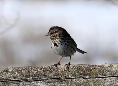 b2ap3_thumbnail_Song-Sparrow-Marvin-Stauffer-PA.jpg