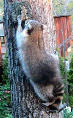 b2ap3_thumbnail_Titmouse-on-raccoon-tail.jpg