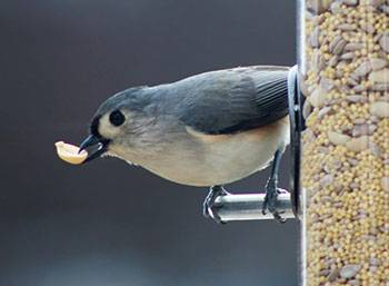 b2ap3_thumbnail_Titmouse-with-peanut.jpg