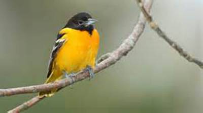 b2ap3_thumbnail_baltimore-oriole-male.jpg