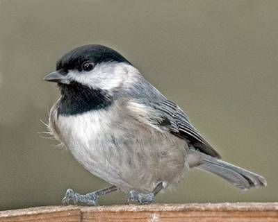 b2ap3_thumbnail_black-capped-chickadee.jpg