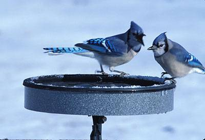 b2ap3_thumbnail_blue-jay-bath-snow.jpg