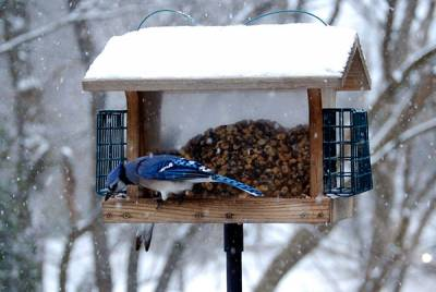 b2ap3_thumbnail_blue-jay-winter-feeder.jpg