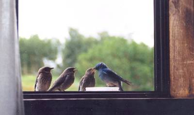 b2ap3_thumbnail_bluebird-feeding-fledglings-on-window-sill.jpg