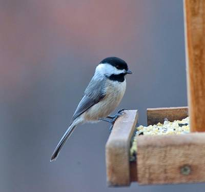b2ap3_thumbnail_carolina-chickadee-at-feeder.jpg