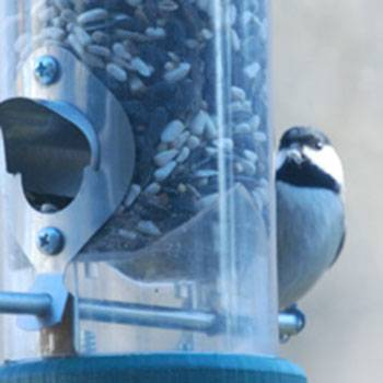 b2ap3_thumbnail_chickadee-at-feeder.jpg