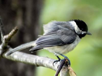 b2ap3_thumbnail_chickadee-side-view.jpg