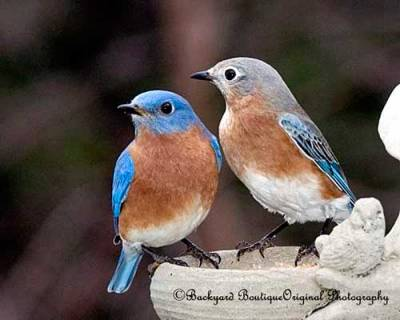 b2ap3_thumbnail_eastern-bluebird-pair.jpg