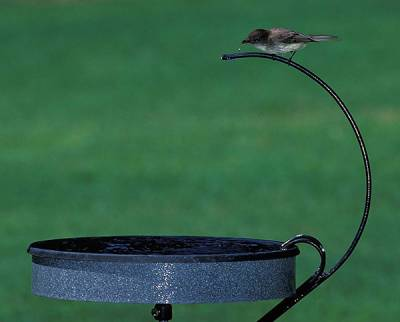 b2ap3_thumbnail_eastern-phoebe-on-dripper.jpg