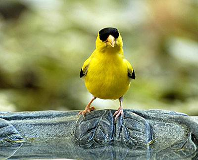 b2ap3_thumbnail_goldfinch-bath.jpg