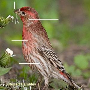 b2ap3_thumbnail_house-finch-m300.jpg