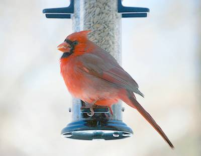 b2ap3_thumbnail_northern-cardinal-at-feeder.jpg