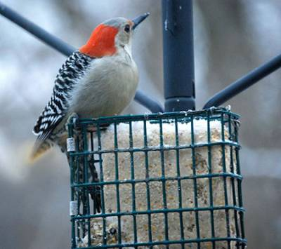 b2ap3_thumbnail_red-bellied-woodpecker-1.jpg