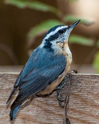 b2ap3_thumbnail_red-breasted-nuthatch.jpg