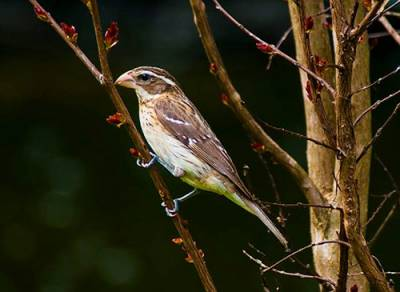 b2ap3_thumbnail_rose-breasted-grosbeak-female.jpg